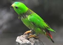Makanan Burung Serindit Agar Cepat Gacor