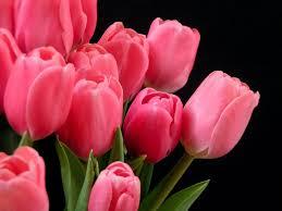 pink tulips free computer desktop wallpaper
