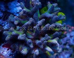 ORA Bird's of Paradise – Jason Fox Signature Corals