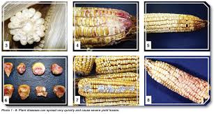corn disease look out for these diseases in maize