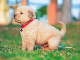 Dog Breed Compatibility Chart 8 Popular Dog Breeds In India
