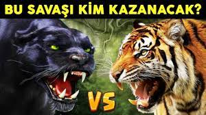 Bu İki İblis Savaşırsa Kim Kazanır Kaplan VS Kara Panter - YouTube