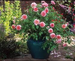 Aliexpresscom  Buy Rare Dark Blue Roses With Light Orange Heart Fragrant Rose Plants