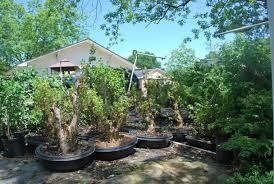 field grown bonsai trees for in
