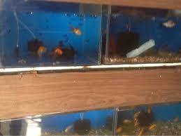 aquarium angel fish aquarium photos tilak chowk belgaum aquarium fish dealers
