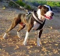 pitbull terrier fight. Simple Pitbull American Pit Bull Terrier  Pitbull And Fight