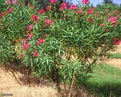 Grow Guide: Pruning Oleander