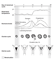 Uterus Size In Cm During Pregnancy Chart Ovulation And Conception The Royal Womens Hospital