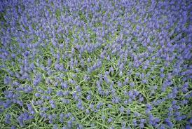 grape hyacinth bulbs. Plain Bulbs Grape Hyacinths Will Withstand Deer And Grow Near Black Walnuts To Hyacinth Bulbs P