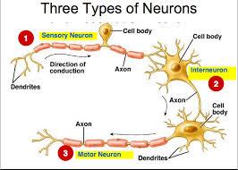 Types Of Neurons Home Hook Ap Psychology 3b