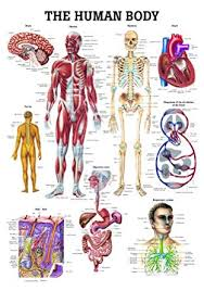 Laminated Anatomical Charts The Human Body Laminated Anatomy Chart Amazon Com
