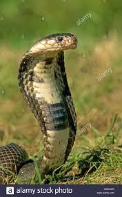 cobra head profile. Beautiful Head Indian Cobra Spectacled Cobra Naja Naja With Head Raised High Ready To  Strike To Head Profile N