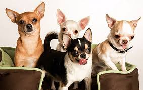 Chihuahua Color Chart Colors And Markings Of The Chihuahua Breed According To Akc