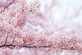 Cherry Blossom With Soft Focus Sakura Season In Korea Background