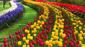 flowers garden. Tulip Flower Garden Flowers