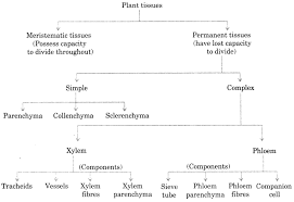 Flow Chart Of Animal Tissue Class 9 Cbse Class 9 Science Practical Skills Plant And Animal Tissues