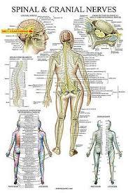 Autonomic Nervous System Spinal Subluxation Symptoms Poster