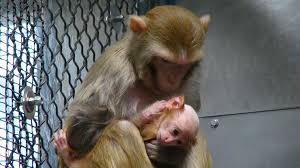 questions raised about mental health stus on baby monkeys at nih labs