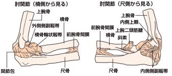 「肘 解剖」の画像検索結果