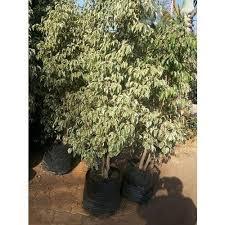ficus variegated plant