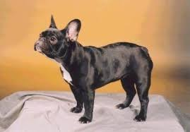 french bulldog full grown size. Side Profile Black With White French Bulldog Is Standing On Stand In Full Grown Size