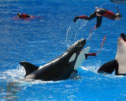 killer whale attacks on humans. Orca Whale Attacks On Humans In Killer