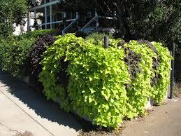 Light Green Sweet Potato Vine Online Plant Guide Ipomoea Batatas Sweet Potato Vines