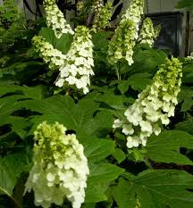 ELLEN HUFF OAKLEAF HYDRANGEA Enchances any combination of plants with the  distinct foliage and stature a… | Oakleaf hydrangea, Spring plants,  Hydrangea quercifolia
