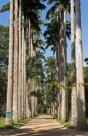 royal palm trees at botanical garden in rio de janeiro stock photo image of