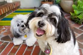 Small Picture Havanese Dog Breed Information Pictures Characteristics Facts