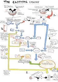 The Clotting Cascade Diagram On Meducation