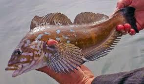 Rockfish Alaska Fishing Alaska Outdoors Supersite