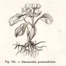 Vintage Ranunculus Parnassifolius Flower Illustration - From.. Stock ...