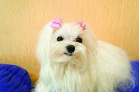 Teacup Maltese Weight Chart Difference Between Maltese Bichon Dogs Pets