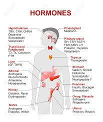 The Human Endocrine System Worksheet Free Worksheets Library ...