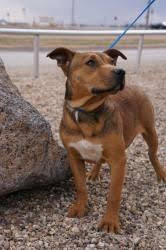 bull terrier german shepherd mix. Exellent Shepherd Pitbull German Shepherd Mix With Bull Terrier German Shepherd Mix