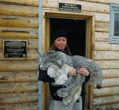 lynx size the enormous paws of the canadian lynx why evolution is true