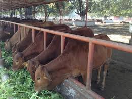Cow Feeding Chart Livestock Cattle Feed Management Animal Husbandry Home