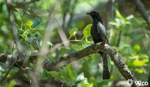 Suara burung kedasih, wiwik, emprit gantil jantan dan betina asli dari alam ♬ asepdroid download mp3. Mitos Dan Fakta Burung Kedasih Konon Kicauannya Pertanda Kematian