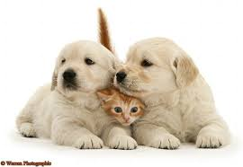 golden retriever puppy and kitten. Fine Puppy 13347RedtabbykittenwithGoldenRetrieverpups  Intended Golden Retriever Puppy And Kitten U