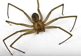 Image result for brown recluse