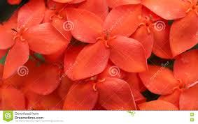 red jasmine flowers blooming