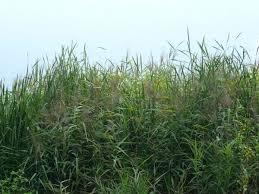 tall grass texture. Tall Grass Texture A