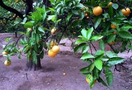 Best 25 Indoor Fruit Trees Ideas On Pinterest  Growing How Often Should I Water My Fruit Trees