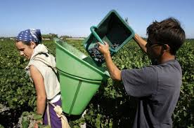 Image result for pictures of people picking grapes in france