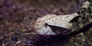 The pittsburgh vipers hockey club would like to offer team positions to the following players. Gaboon Viper Smithsonian S National Zoo