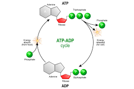 Adp Conversion Chart Electron Transport Chain And Energy Production