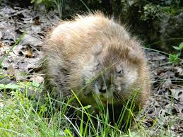muskrat wikipedia Beavers Eating Trees Clip Art at Beaver Wood Eater Wiring Diagram