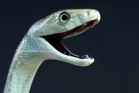 snake mouth profile. Perfect Profile Black Mamba  Dendroaspis Polylepis  By Reptiles4all Intended Snake Mouth Profile T