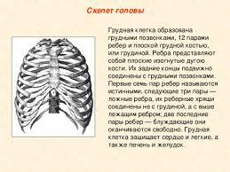 реферат анатомия Реферат по анатомии на тему грудная клетка